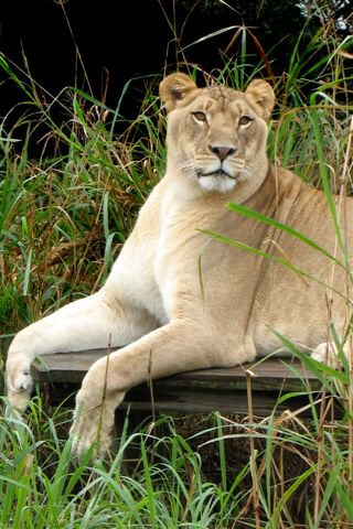 Lioness Photo from Big Cat Rescue