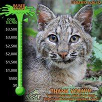 Help Rufus the Blind Bobcat Kitten