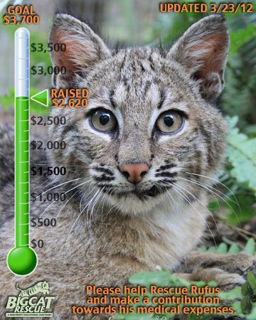 Today at Big Cat Rescue Mar 23 Help Rufus the Bobcat