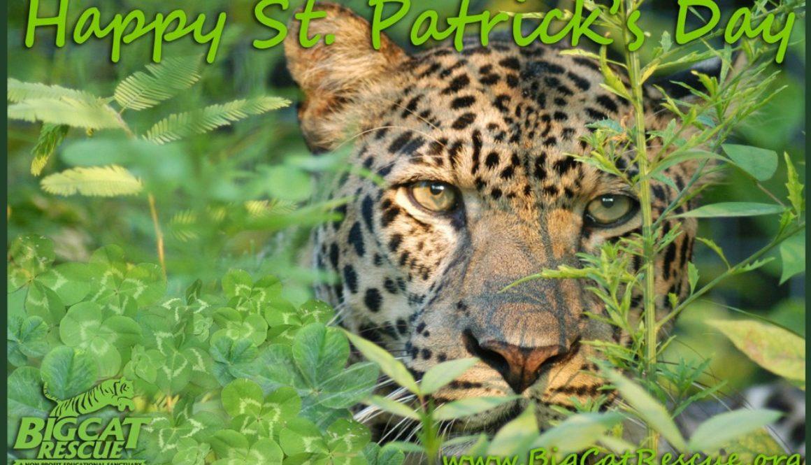 Reno Leopard St. Patrick's Day