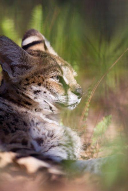 Serval-2011-Steve-bigcats155 | Big Cat Rescue