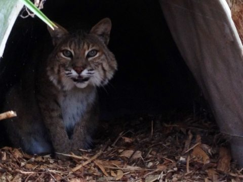 A rare glimpse at Banshee bobcat.  He is very shy and not on tour path.