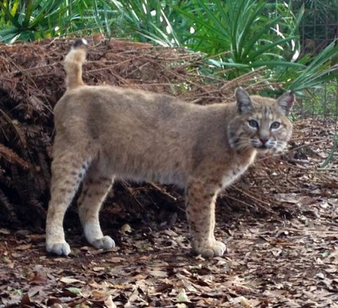 Andi bobcat came up to me for the first time yesterday; purring and rubbing