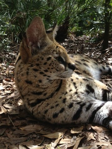 Serval relaxing at Big Cat Rescue