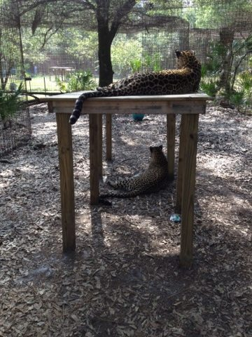 Leopard sisters on platforms at Big Cat Rescue