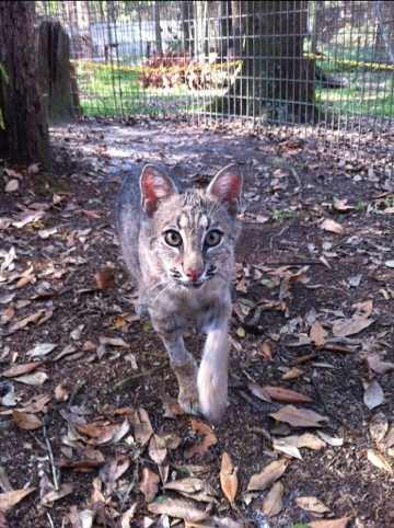 Rufus the bobcat kitten doesn't know how much the cougars like him