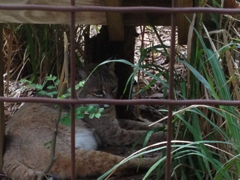 Angie bobcat resting under her new stairs that lead to overhead tunnel