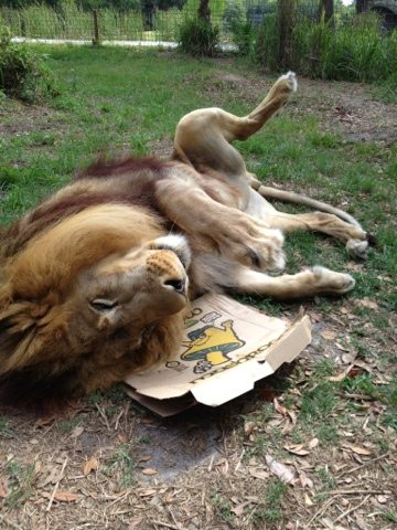 Joseph the Lion makes his mark on Big Cat Rescue