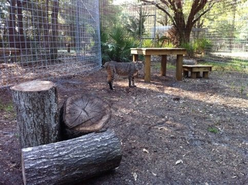 Precious Bobcat checks out her new Cat-a-Tat w/ logs and platforms