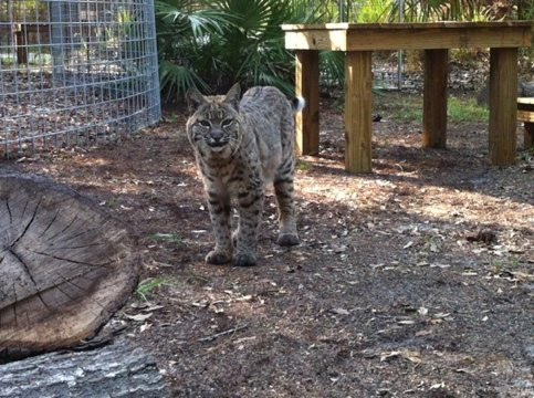 "Precious Bobcat says ""Thanks!"" for her new Cat-a-Tat w/ logs and platforms"