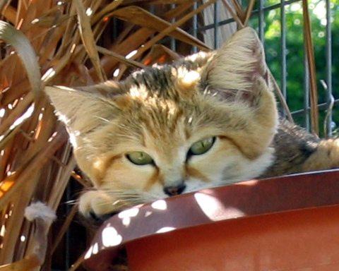 Cute little Sandcat, Genie in a flower pot on the wall
