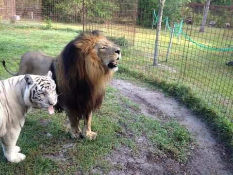 Zabu the white tiger and Cameron the lion sticking tongues out