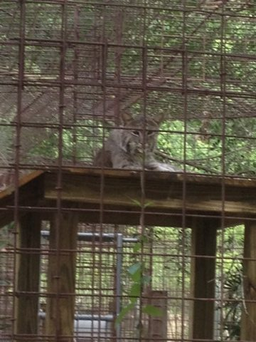 First picture of Anasazi bobcat up on her new platform