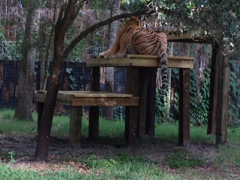 Nikita tiger up on shelf 2 of his platform, which is an effort for a cat his size