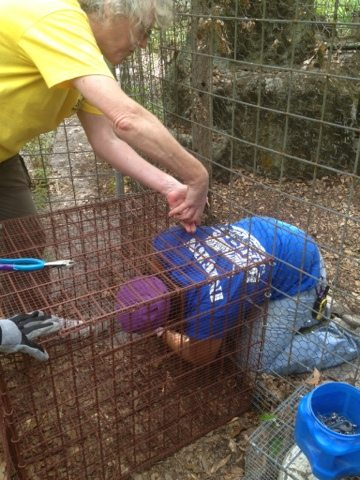Volunteer Sharon and Interns working on Tommie Girl the bobcat's cage