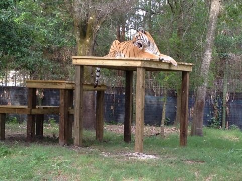 Nik the tiger bounds up to the top level of his huge observation deck