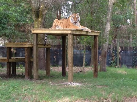 Nik the tiger might never come down