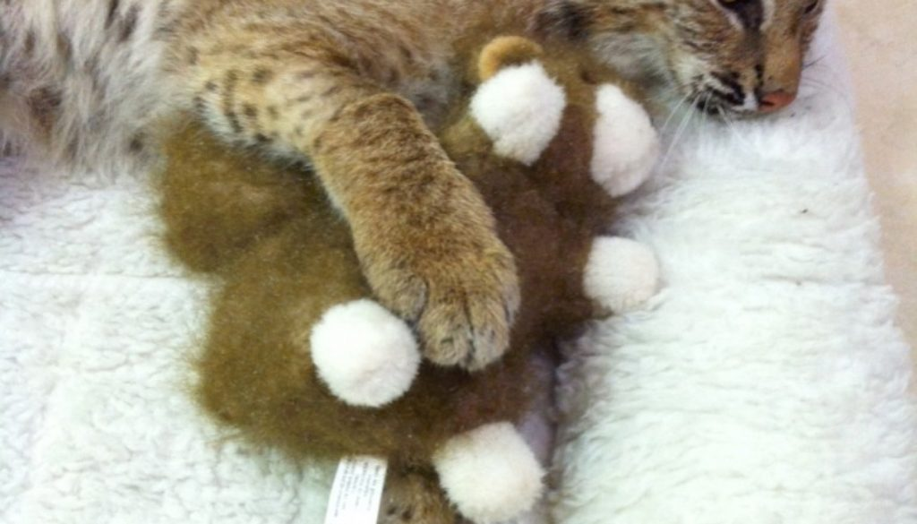Bobcat-Rufus-Toy_3636