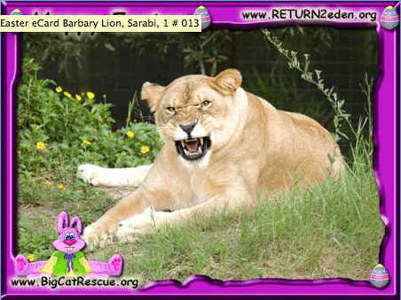 Happy-Easter-Lioness-Big-Cat-Rescue