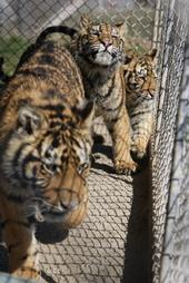 Tigers live in barren overcrowded conditions all over the U.S.