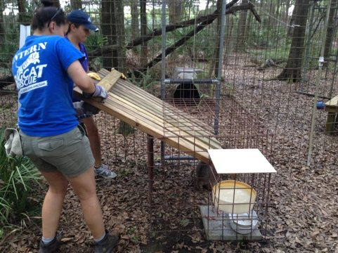 Intern Flavia helps President Jamie Veronica squeeze Cherokee bobcat