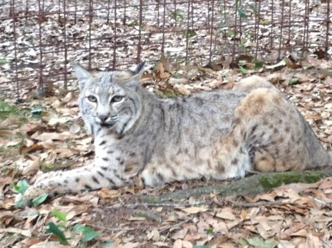 Divinity the fur farm rescue bobcat waits patiently for her dinner