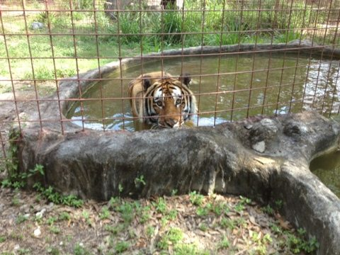 Tiger about to pounce from his spring fed pool