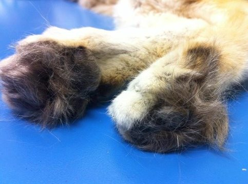 Sandcat feet are furred for waling on hot desert sands