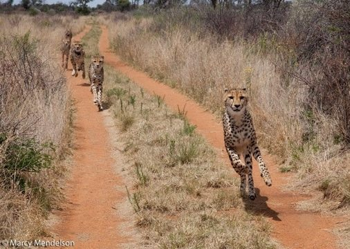 Cheetah running free; the way it should be