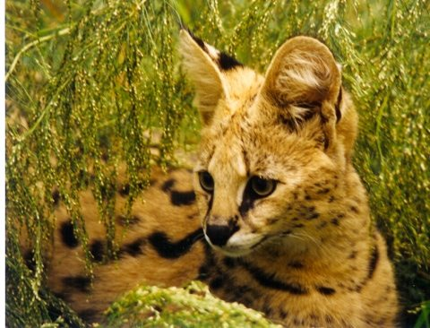 An old photos of Cybil the serval when she was little