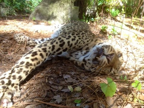 Lounging leopards at Big Cat Rescue in Tampa, FL