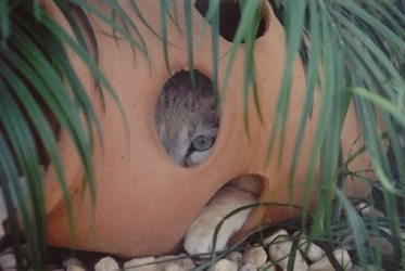 Tiny sand cat peeking from a flower pot at Big Cat Rescue