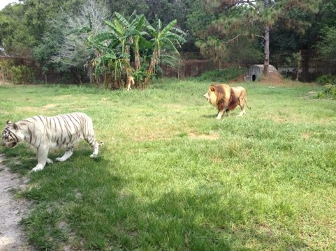 Zabu the white tiger leads the way to their cave
