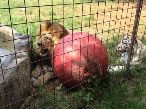 Cameron the lion and Zabu the white tiger playing w/ toys by pond
