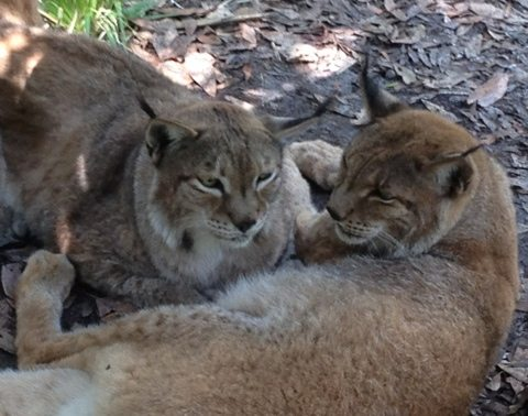 Natasha and Willow the Siberian Lynx are never far from each other
