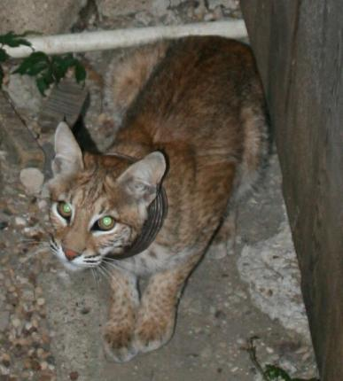 Bobcat with Collar Roaming Plano TX
