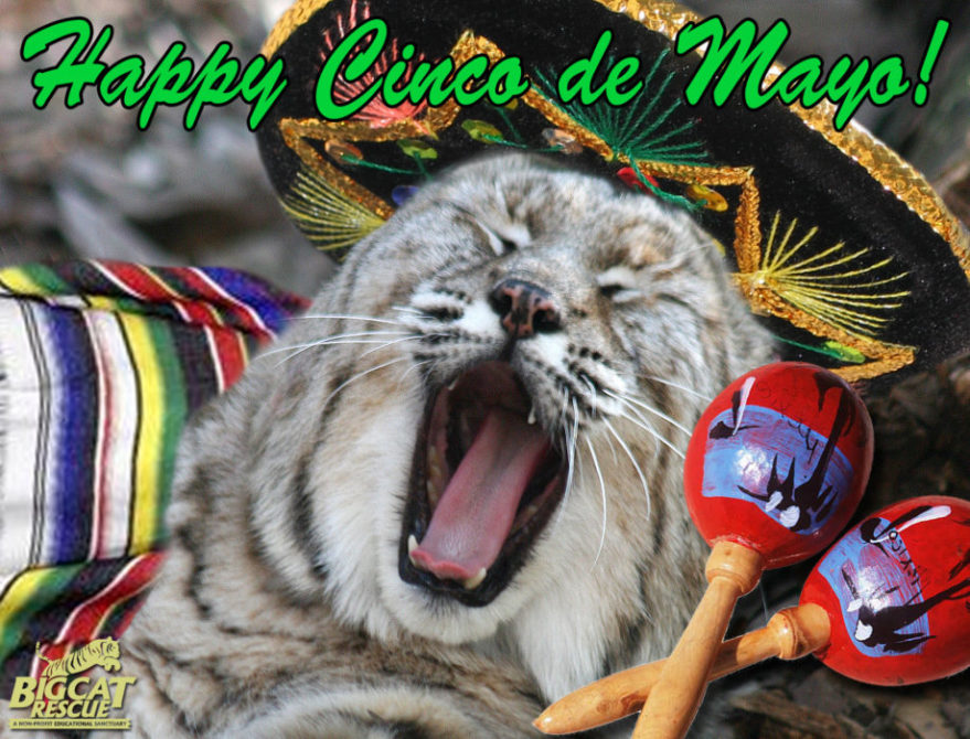 Today at Big Cat Rescue is Cinco de Mayo