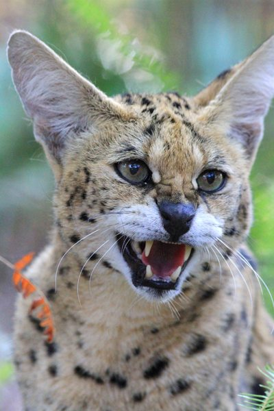 Servals, like Cleo Cat Tra have become the next biggest cat people buy since they cannot trade in great cats and cougars as pets across state lines