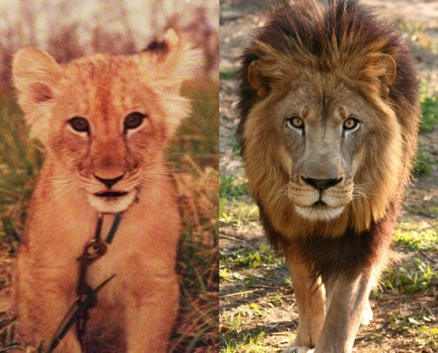 Joseph the Lion Before and After
