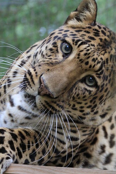 Leopard facts, photos, sounds and news