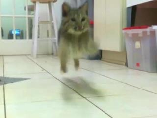 The Rufus bobcat kitten Bounce