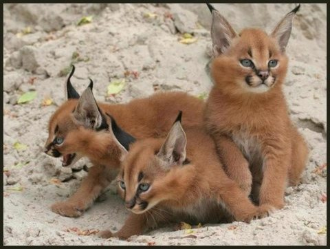 Not made here!  I just thought it was a cute photo of caracal kittens