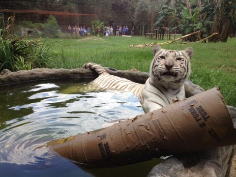 Zabu the white tiger shows off her enrichment at Big Cat Rescue