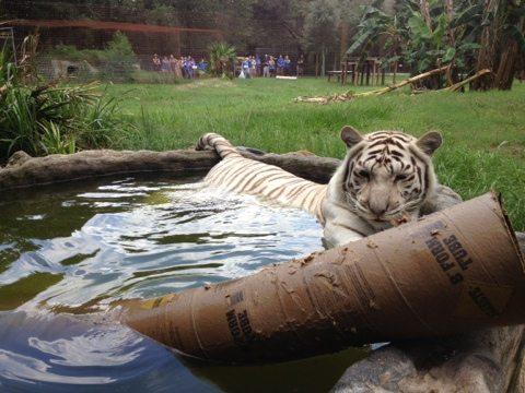 Zabu the white tiger drowns her enrichment at Big Cat Rescue