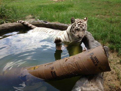 Zabu the white tiger swats her enrichment at Big Cat Rescue