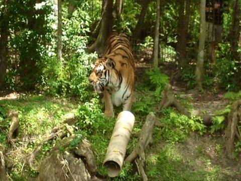 Big Cats get Big Toys at Big Cat Rescue