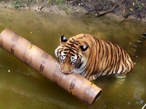 Big Cats Drown Big Toys at Big Cat Rescue