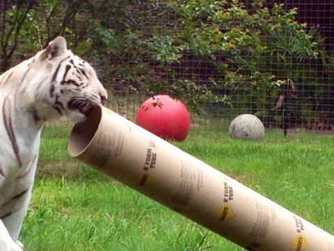 Zabu the white tigress hurries to get the tube into the pool