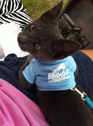 Big Cat Rescue's bobtailed kitten mascot named TeeGray