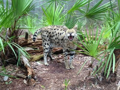 Serval telling us that SHE wants a watermelon